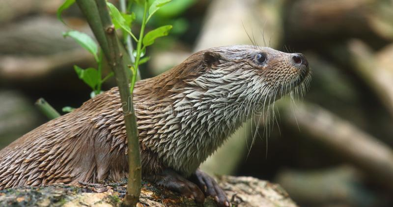 La nutria europea - lutra del Lutra Este animal es parásito peligroso para la granja de pescados y la acuicultura Fauna en el par fotos de archivo