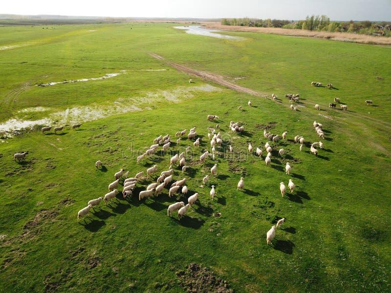 La opinión aérea ovejas se reúne en prado de la primavera fotografía de archivo libre de regalías