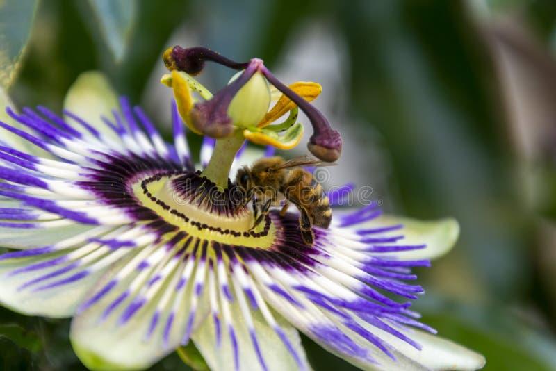 La opinión la abeja de la miel en la flor de la pasionaria edulis o la flor de la pasión en un fondo natural fotografía de archivo libre de regalías