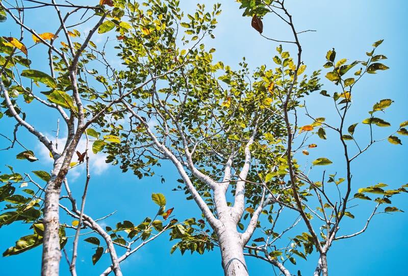La opinión de ángulo bajo del tronco de árbol ramifica con color verde y anaranjado con el fondo del cielo azul fotografía de archivo