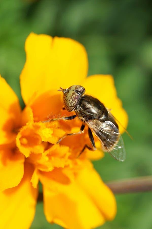 La opinión del primer las moscas caucásicas hoverfly Eristalinus de la flor aen imágenes de archivo libres de regalías