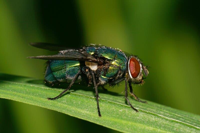 La opinión del primer una mosca salvaje verde caucásica con rojo observa en una n fotografía de archivo libre de regalías