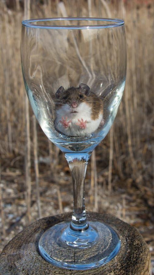 La opinión frontal un ratón de casa marrón salvaje con sus patas empuja hacia arriba contra el interior de una copa de vino prove fotografía de archivo