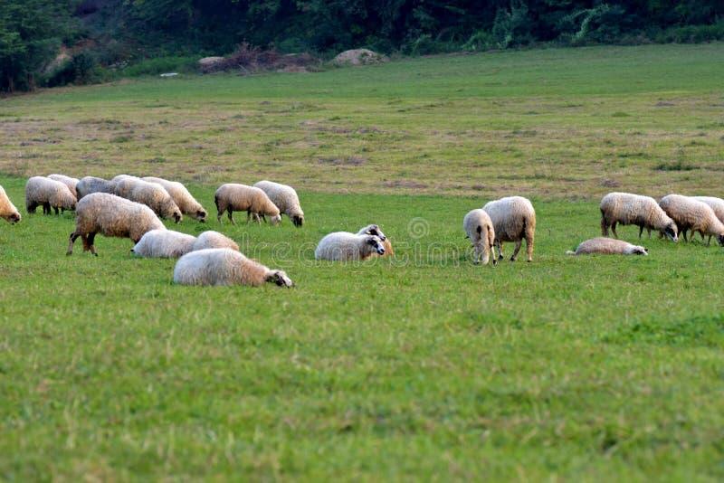 La opinión ovejas reúne pacífico pastando la hierba verde en el prado imágenes de archivo libres de regalías