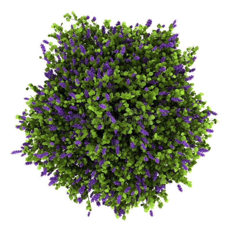La opinión superior la lila florece el arbusto aislado en blanco foto de archivo libre de regalías