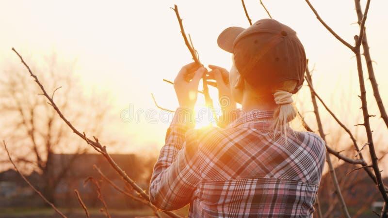 La opini?n trasera el jardinero de la mujer joven examina ramas de ?rbol en el jard fotos de archivo