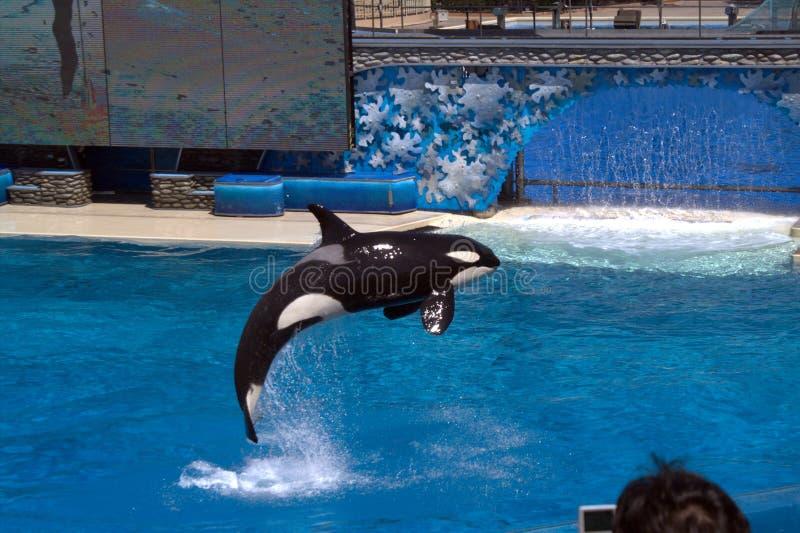 La orca saltó de la piscina en el circo del mar imagenes de archivo