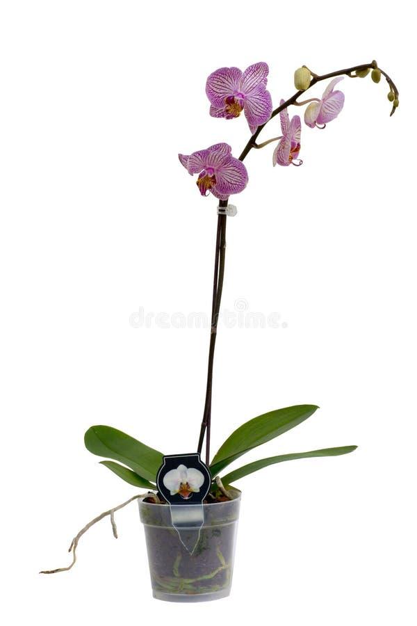 La orquídea aisló imagen de archivo libre de regalías