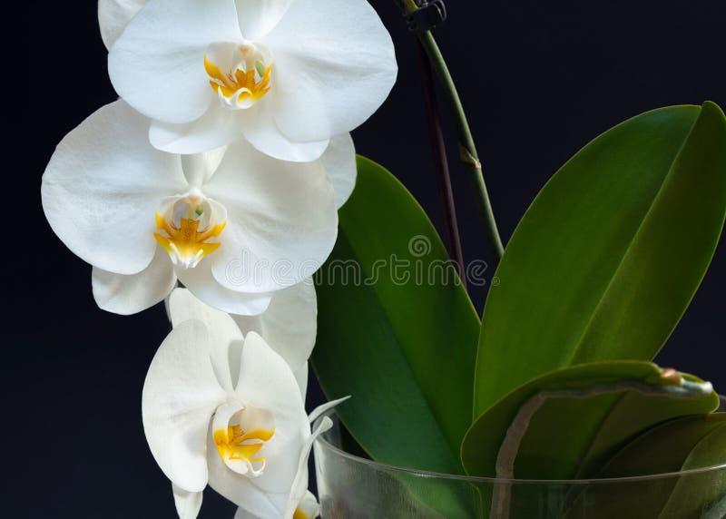 La orquídea blanca hermosa florece con la base de la planta en un backgr negro imagen de archivo libre de regalías