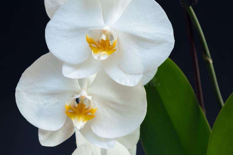 La orquídea blanca hermosa florece con la base de la planta en un backgr negro imágenes de archivo libres de regalías