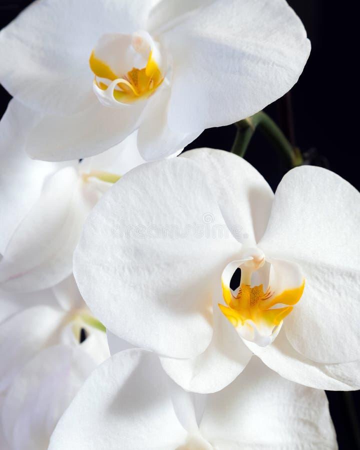 La orquídea blanca hermosa florece con la base de la planta en un backgr negro fotos de archivo