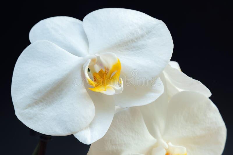 La orquídea blanca hermosa florece con la base de la planta en un backgr negro fotos de archivo libres de regalías