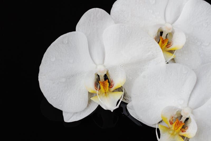 La orquídea blanca, phalaenopsis florece en fondo negro fotografía de archivo libre de regalías