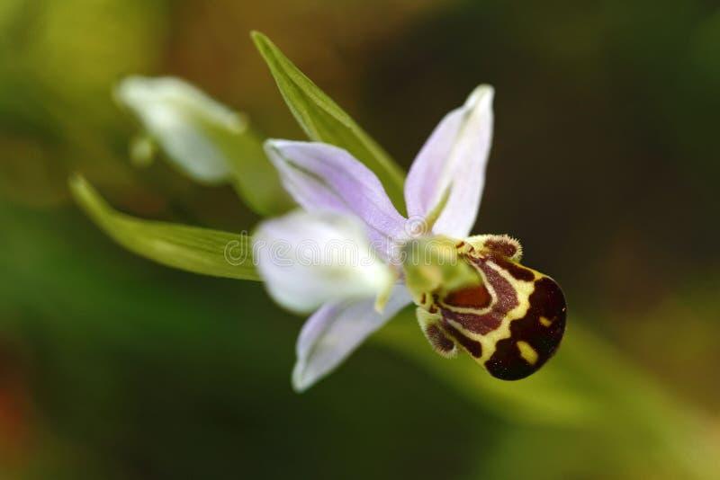 La orquídea de abeja hermosa, apifera del Ophrys, crece en bosque con el fondo natural, macro natural del primer del papel pintad imagen de archivo libre de regalías