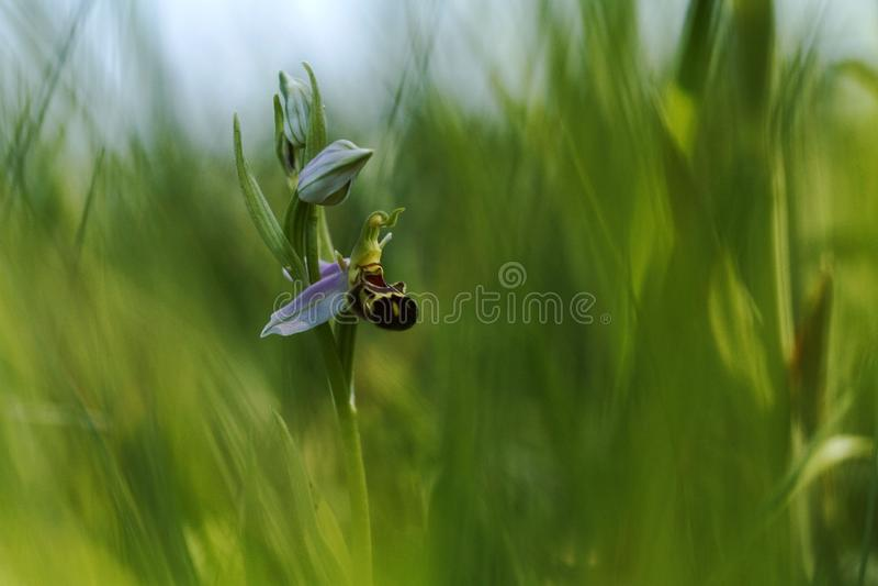 La orquídea de abeja hermosa, apifera del Ophrys, crece en bosque con el fondo natural, macro natural del primer del papel pintad fotografía de archivo