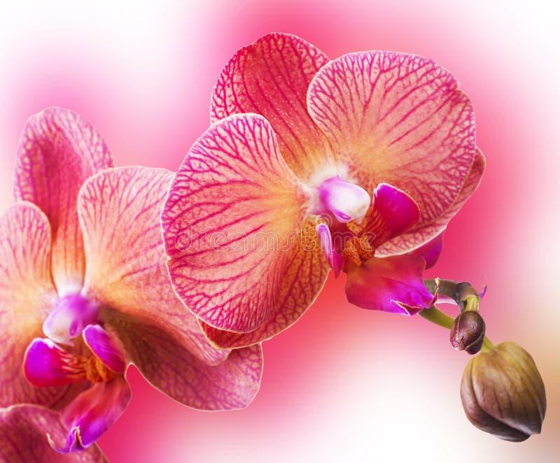 La orquídea florece la frontera foto de archivo libre de regalías