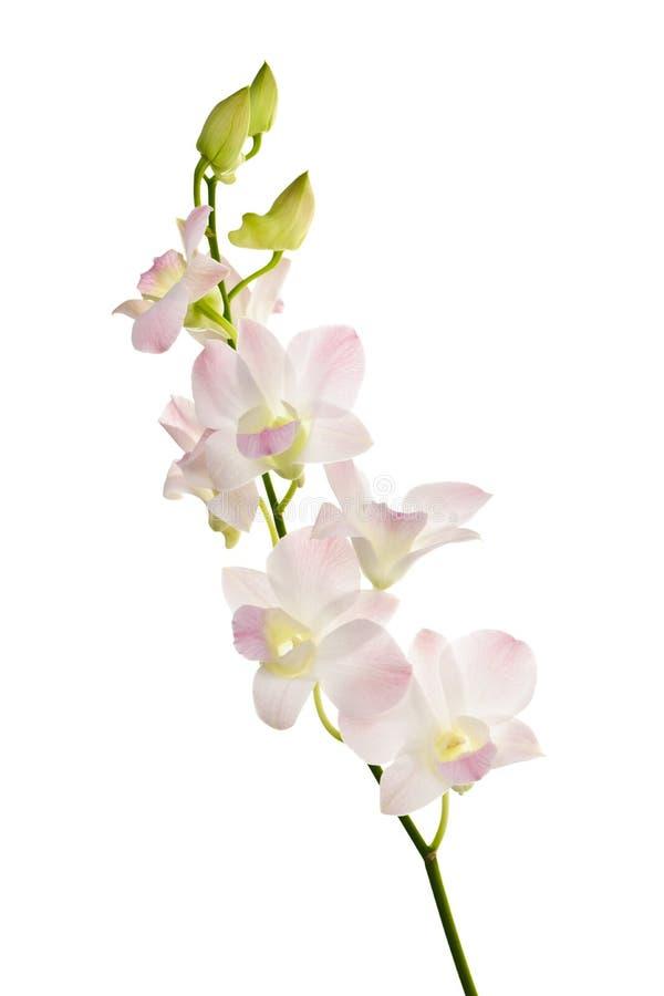 La orquídea florece la ramificación fotografía de archivo libre de regalías