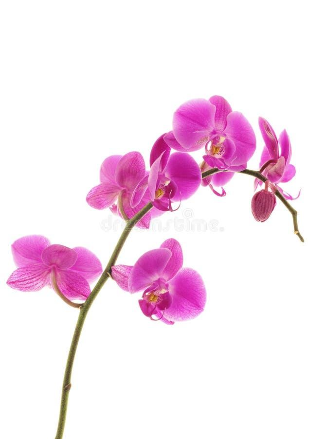 La orquídea violeta aisló fotos de archivo libres de regalías