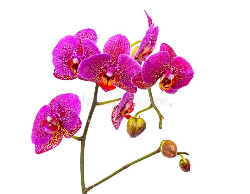 La orquídea violeta aisló foto de archivo libre de regalías