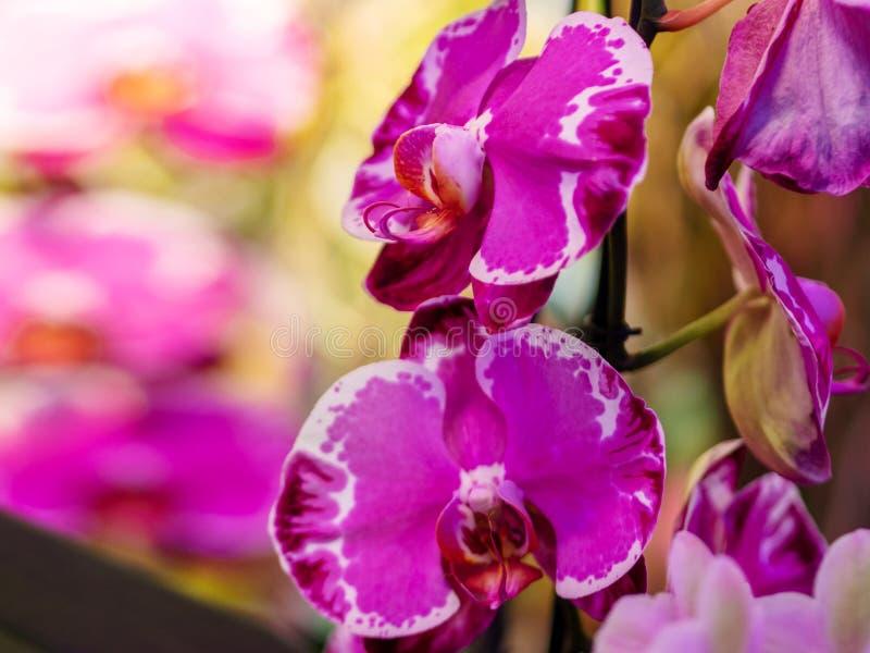 la orqu?dea p?rpura y blanca salvaje florece con los brotes imágenes de archivo libres de regalías