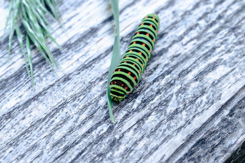 La oruga verde Machaon alimenta en las hojas verdes imágenes de archivo libres de regalías