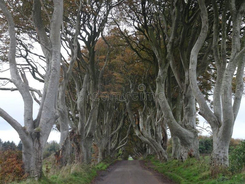 La oscuridad cerca - la avenida de los árboles de haya en la manera al terraplén de Giants en el norte de Irlanda, Europa imagen de archivo libre de regalías