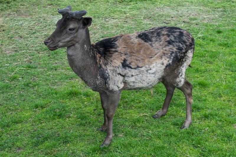 La oscuridad manchó el perfil del prado de la hierba verde del mouflon de los ciervos que miraba el lado fotografía de archivo