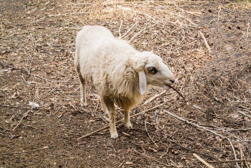 La oveja es una cuadrúpeda, mamíferos del rumiante imagenes de archivo