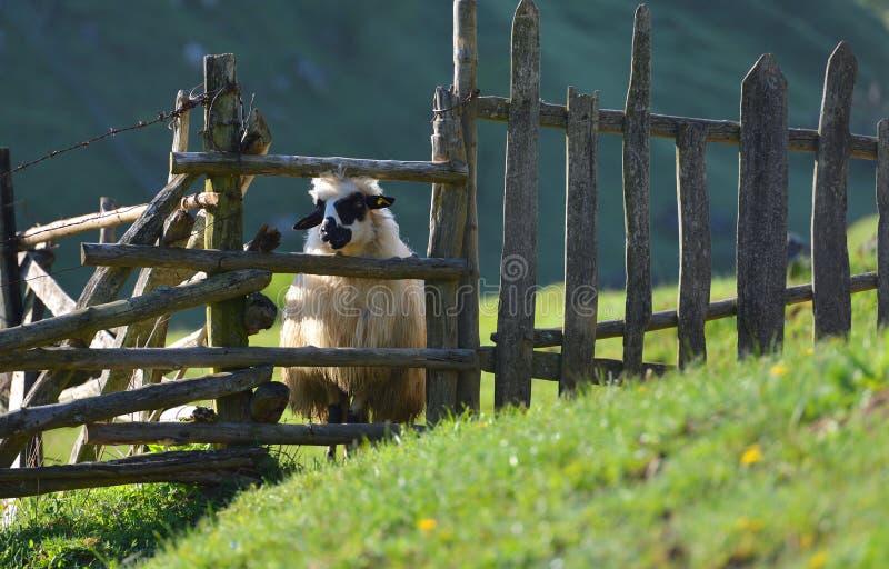 La oveja mira hacia fuera de detrás una cerca de madera fotos de archivo