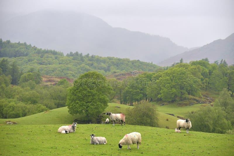 La oveja que pasta en Coniston derriba imagen de archivo libre de regalías
