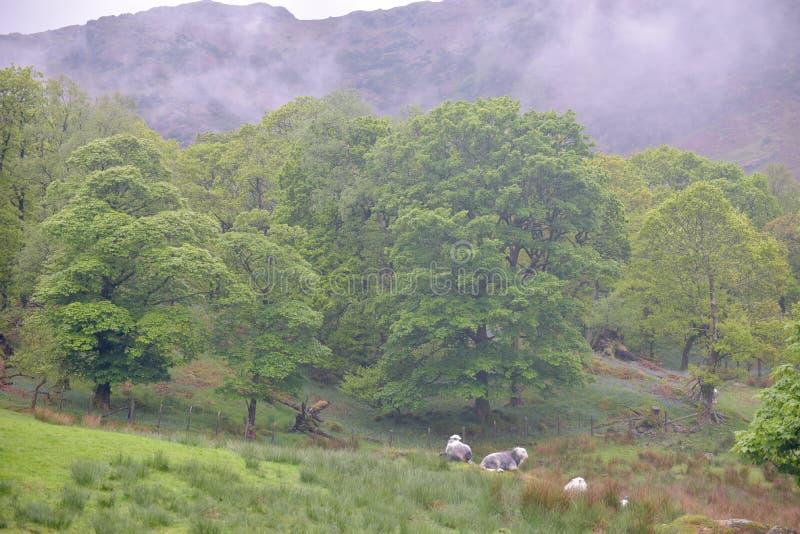 La oveja que pasta en Coniston derriba fotografía de archivo