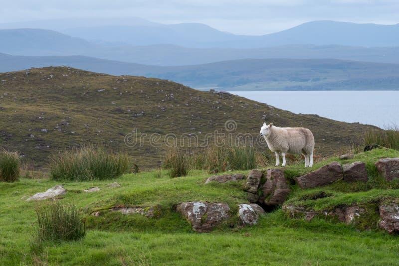 La oveja solitaria se coloca en un afloramiento rocoso en el campo de las montañas escocesas, al norte de Ullapool, en Escocia de fotos de archivo libres de regalías