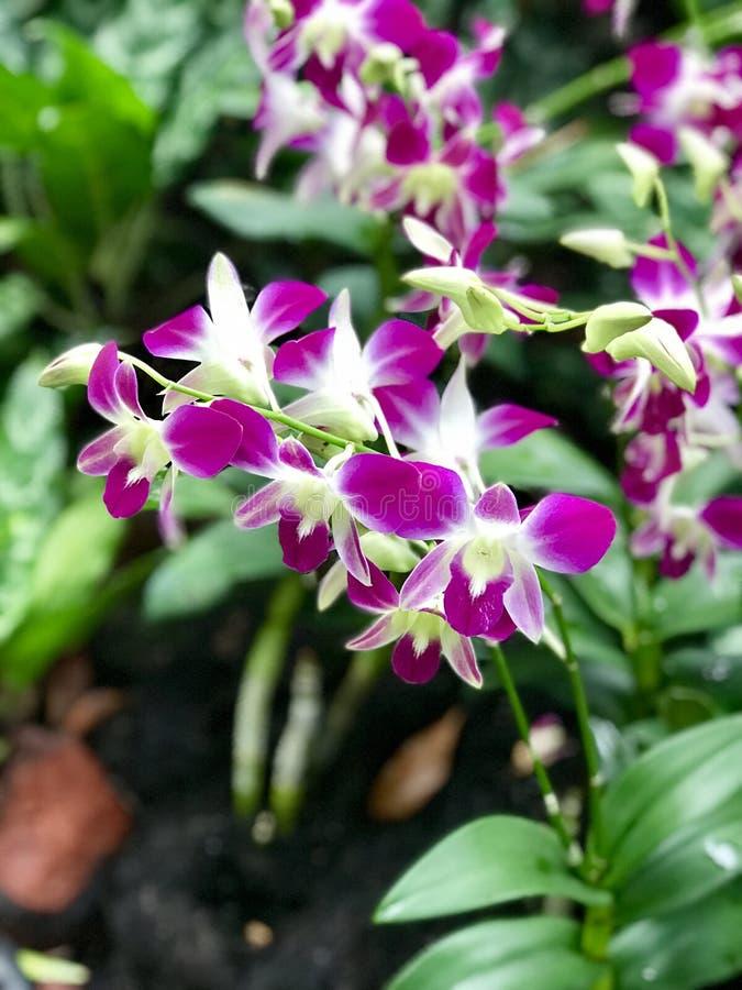 La púrpura florece las flores de la orquídea foto de archivo