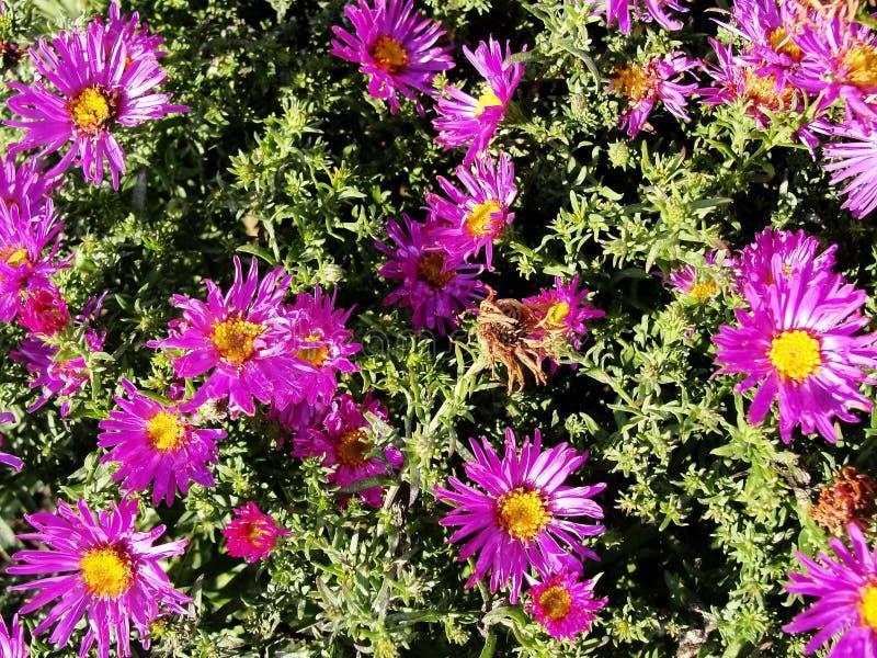La púrpura florece los asteres, flores de la familia de Bush cultivadas en el jardín ruso en verano tardío imagen de archivo libre de regalías