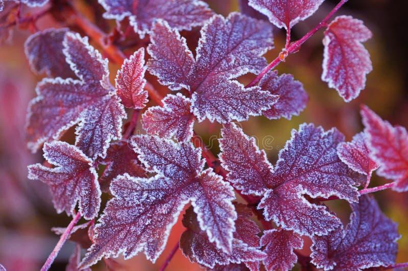 La púrpura heló las hojas de Physocarpus fotos de archivo libres de regalías