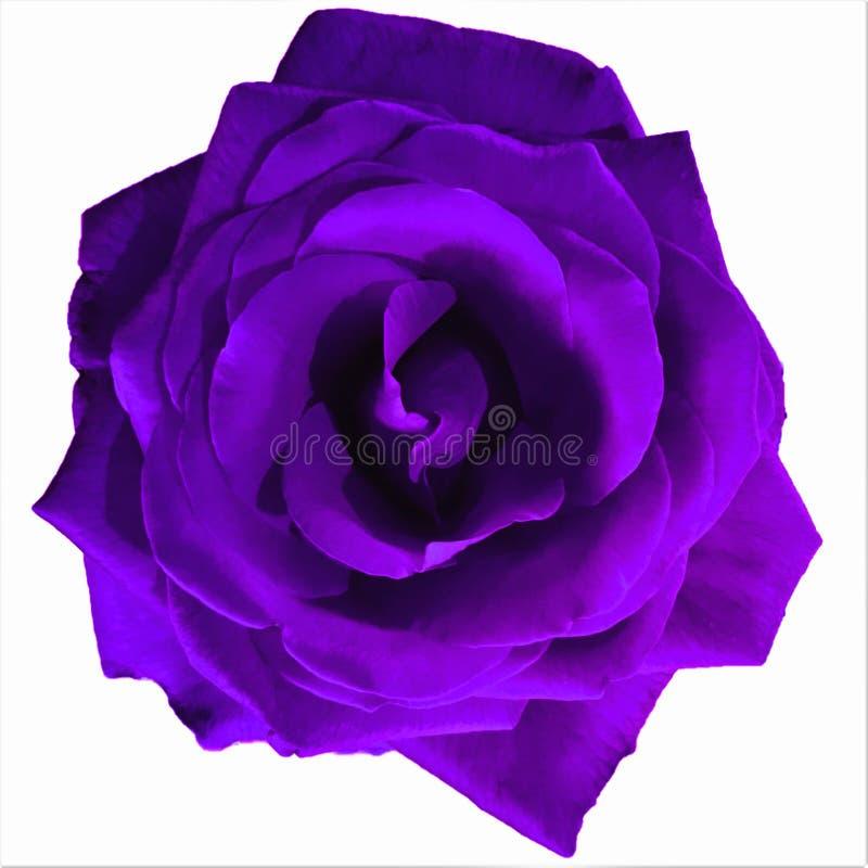 La púrpura oscura grande subió con el fondo blanco fotos de archivo