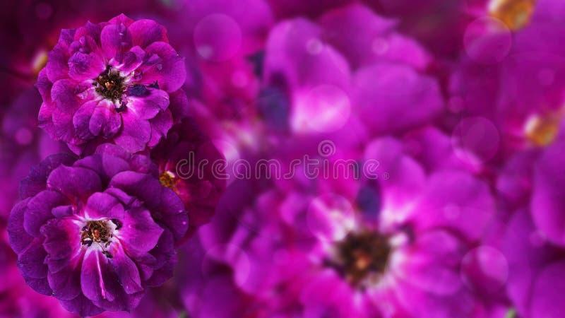 La púrpura subió, fondo hermoso de la flor foto de archivo