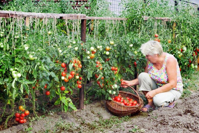 La padrona di un orto ha ricevuto il raccolto fotografia stock libera da diritti