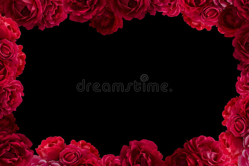 La pagina con il cespuglio della rosa rossa fiorisce il fondo isolato royalty illustrazione gratis