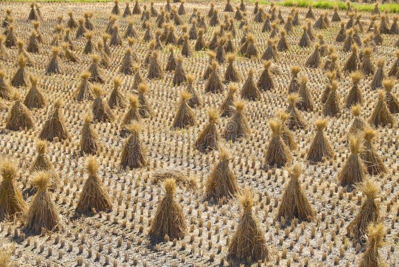 La paglia di riso dall'campi raccolti immagine stock libera da diritti