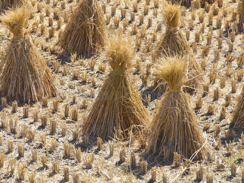 La paglia di riso dall'campi raccolti immagini stock