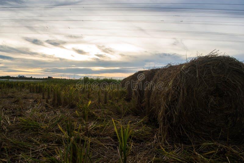 La paille roule dans le paddy moissonnant la saison image stock