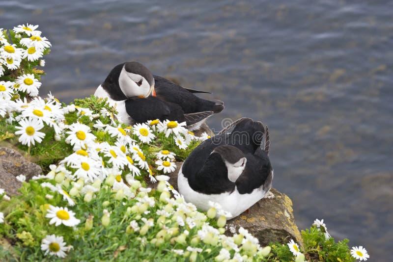 La paire de macareux atlantique se repose aux falaises de Latrabjarg, Islande photographie stock libre de droits