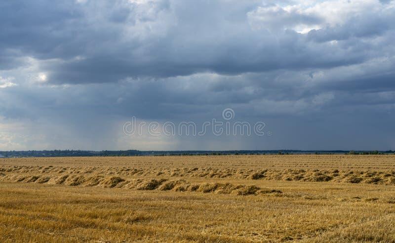 La paja cortada en filas rectas miente en un campo de oro contra la perspectiva de las nubes de lluvia imagen de archivo libre de regalías