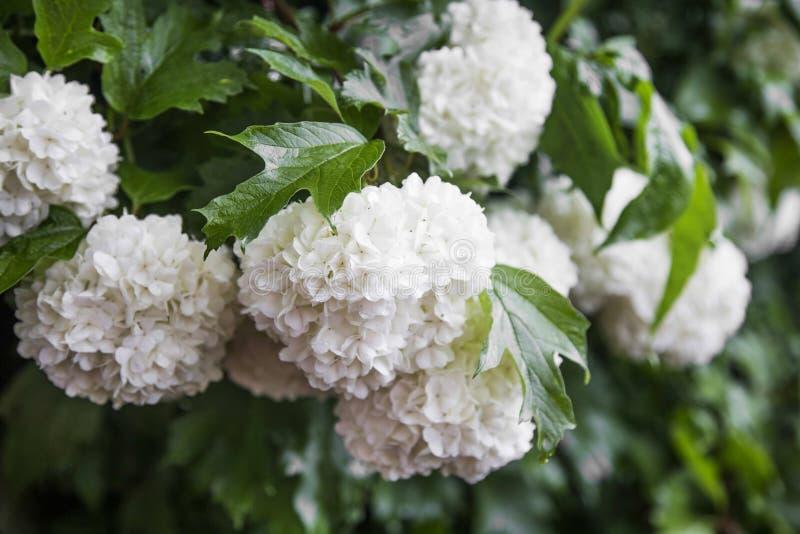 La palla di neve fiorisce il opulus di viburno con le foglie fotografie stock
