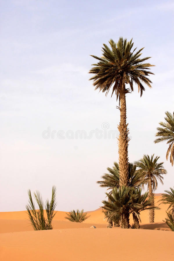 La palma assorbe la sabbia sahariana, Marocco fotografie stock