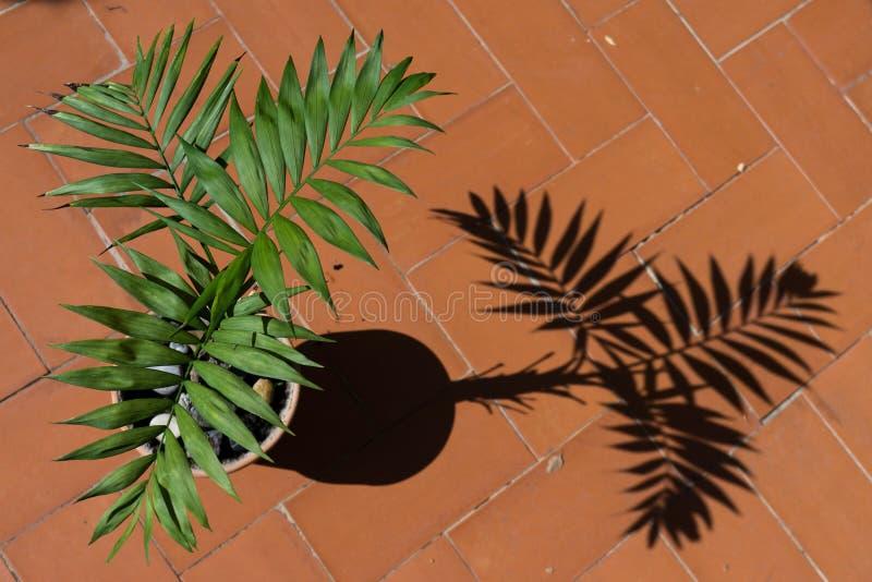 La palma en conserva con su sombra proyectó en la tierra fotografía de archivo
