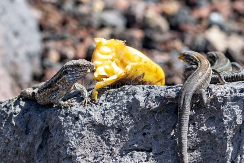 La Palma wall lizard Gallotia galloti palmae eats a piece of banana. La Palma wall lizard Gallotia galloti palmae eating a piece of banana, La Palma Island royalty free stock image