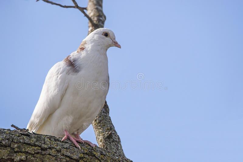 La paloma blanca, árbol, plumas se encaramó en el miembro de árbol, fauna, foto de archivo libre de regalías