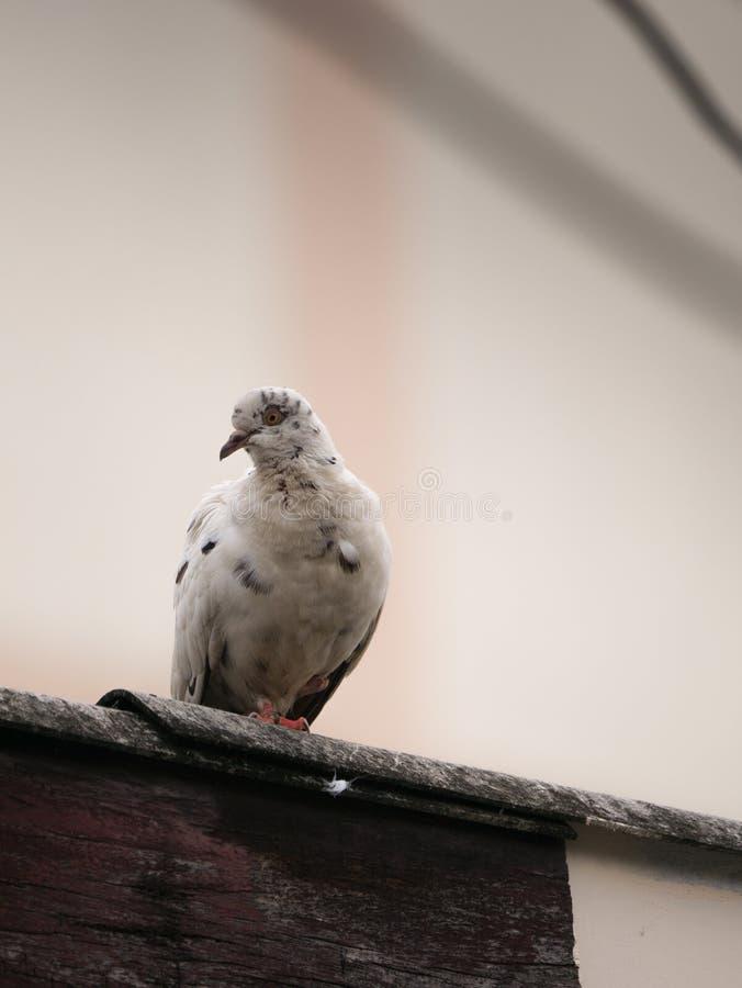 La paloma blanca en un tejado foto de archivo